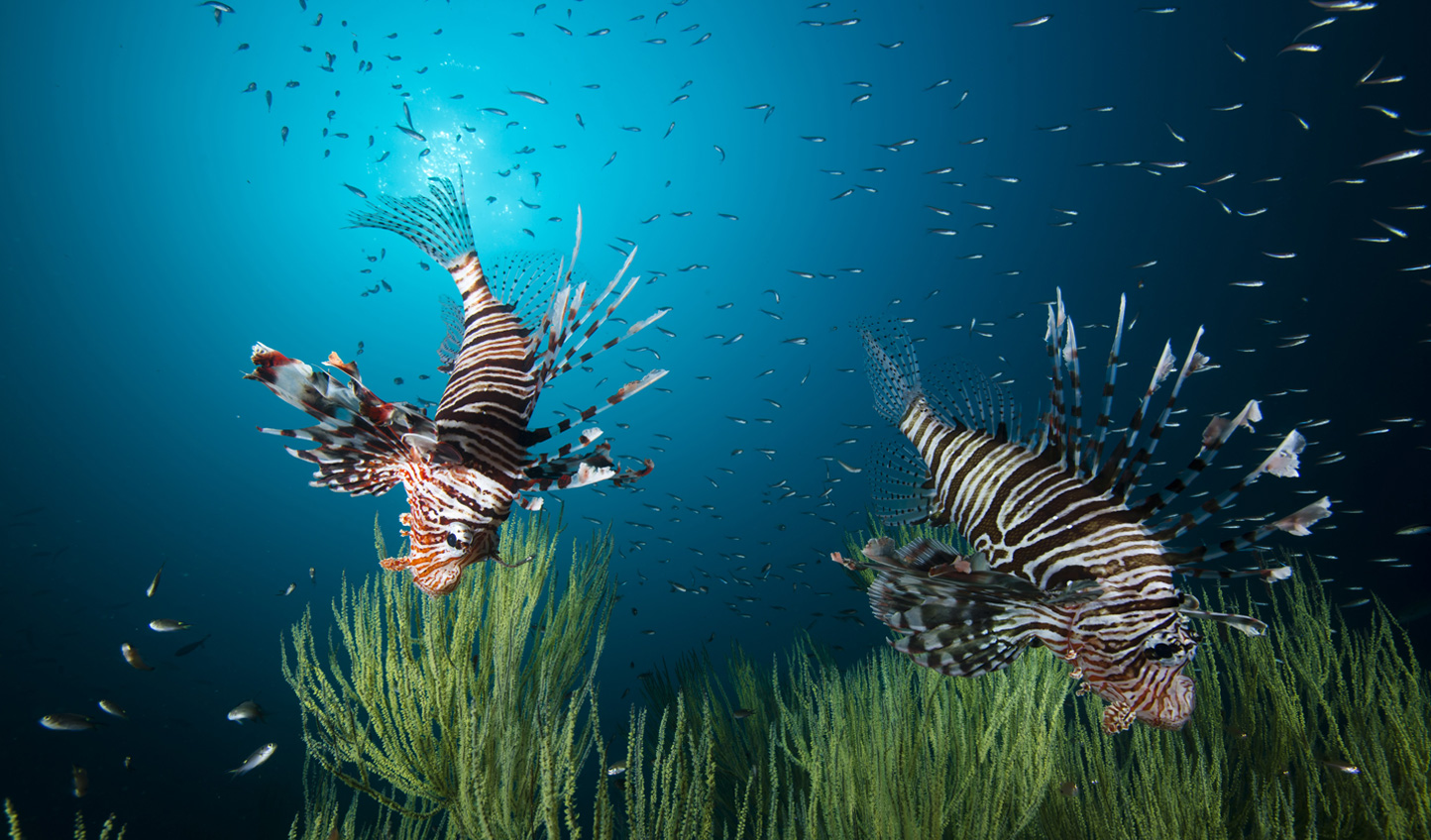 Dive into the water for a chance to see the Lion Fish in the Oman waters