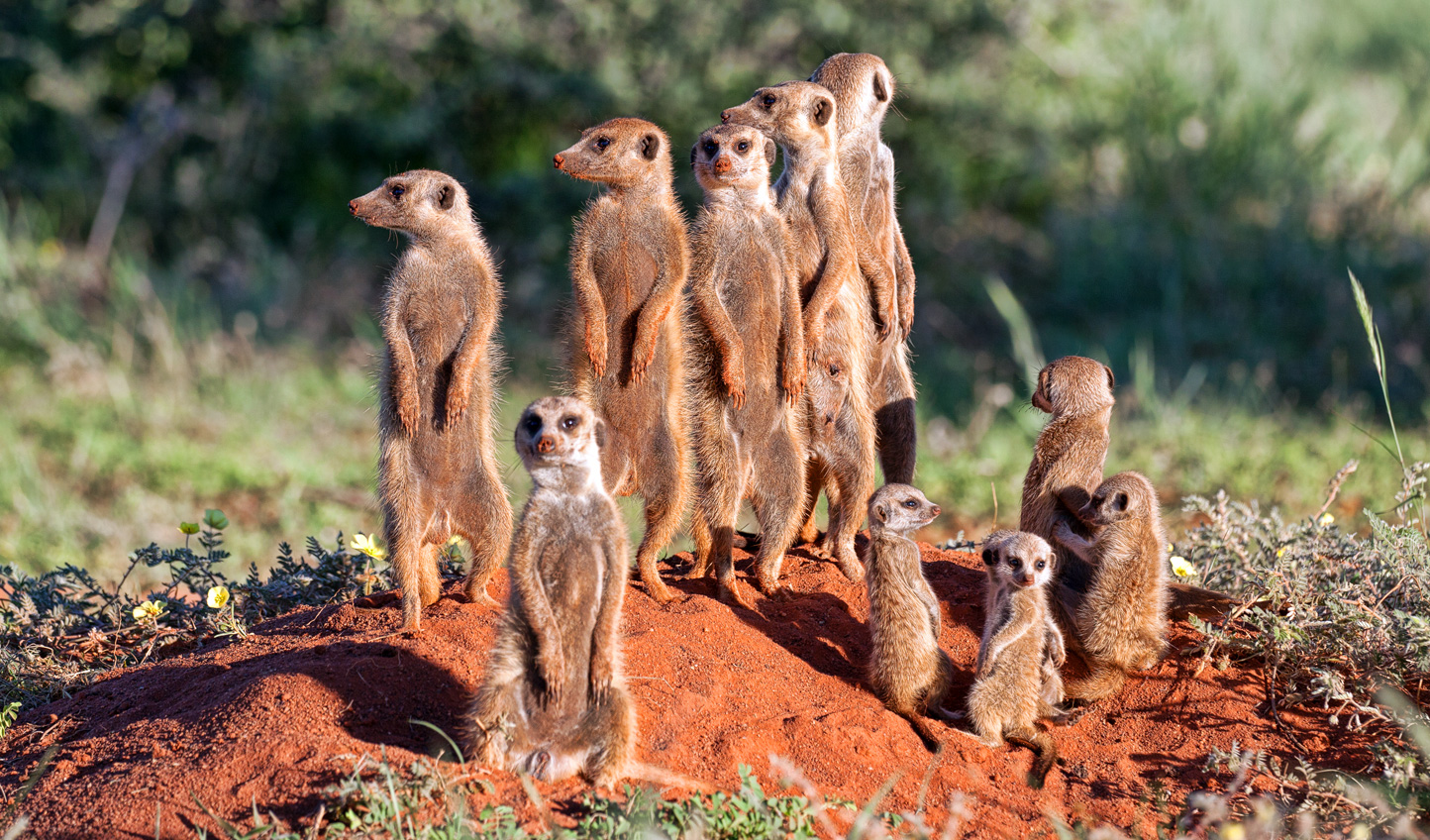 Get to know the local meerkat colony