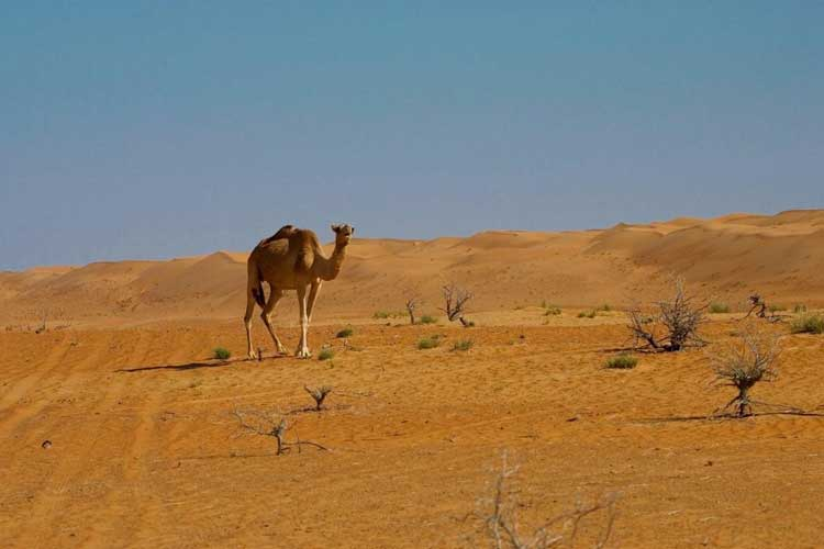 Camel at home, Oman