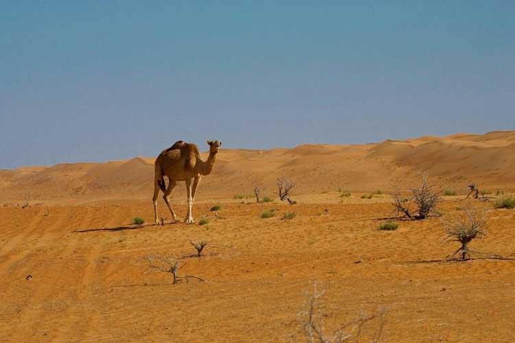 Camel at home, Oman