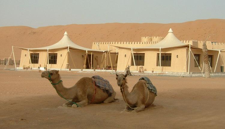 Camels resting, Oman