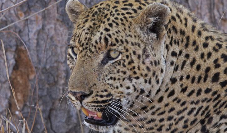 Cheetahs at Chitwa Chitwa