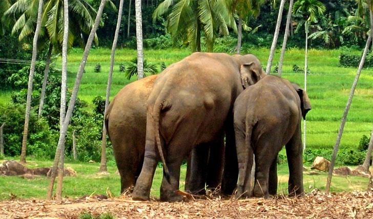 Yalla National Park's elephants