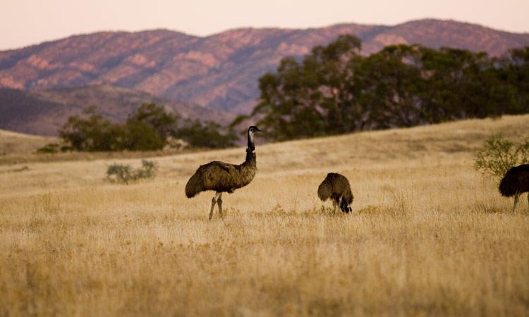 Spot Emus