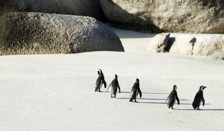Meet the locals on Boulders Beach Cape Town