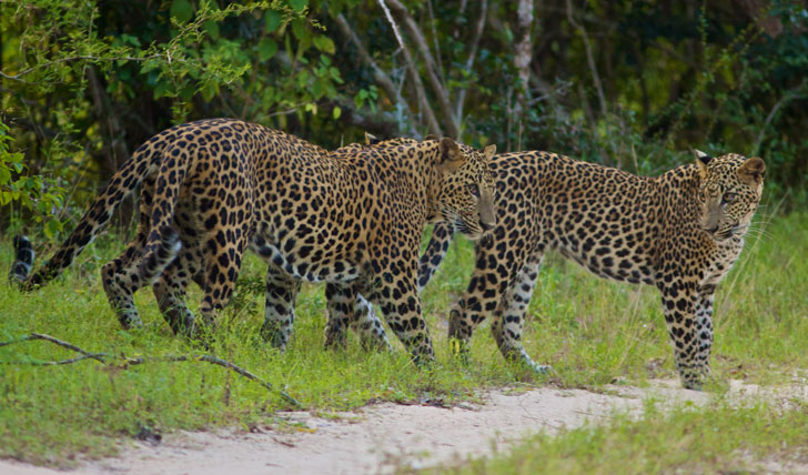 Leopards of Sri Lanka's National Park, Yalla