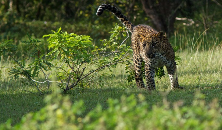 Leopards in Yala National Park | Luxury safari