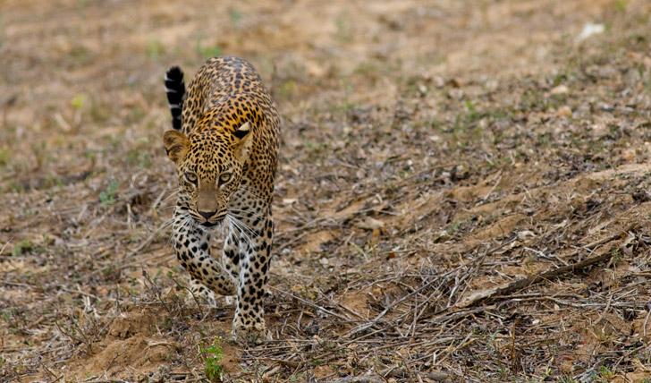 Spot Leopards
