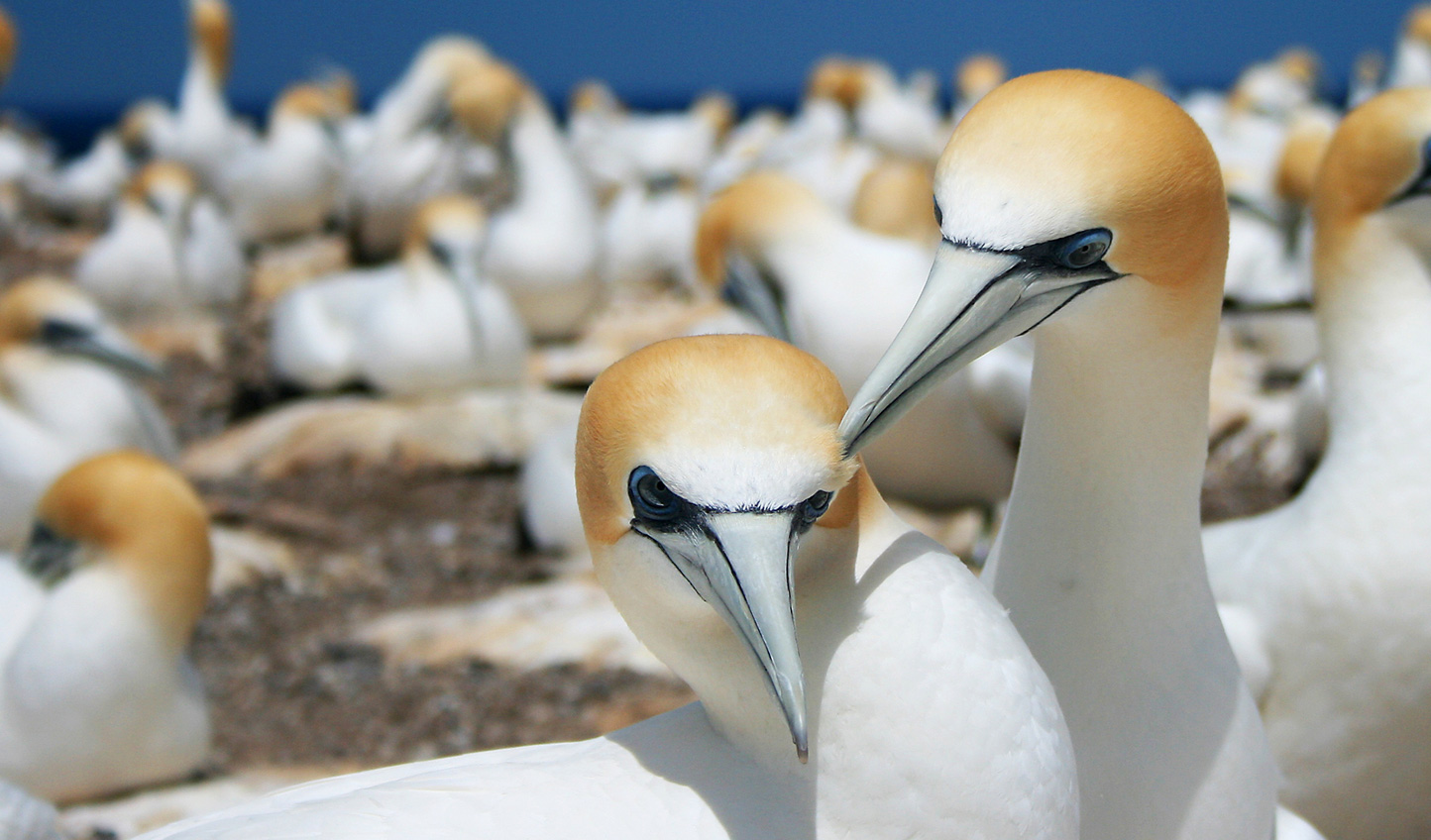 Get to know the local gannet colony at Cape Kidnappers