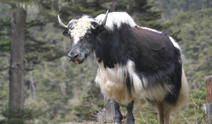 an image of yaks carrying the load on a hillside walk