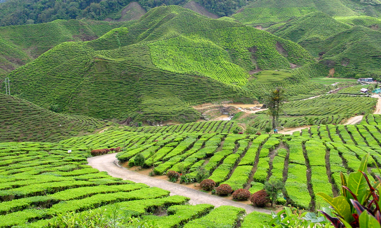 the luscious green of the tea plantations of cameron highlands