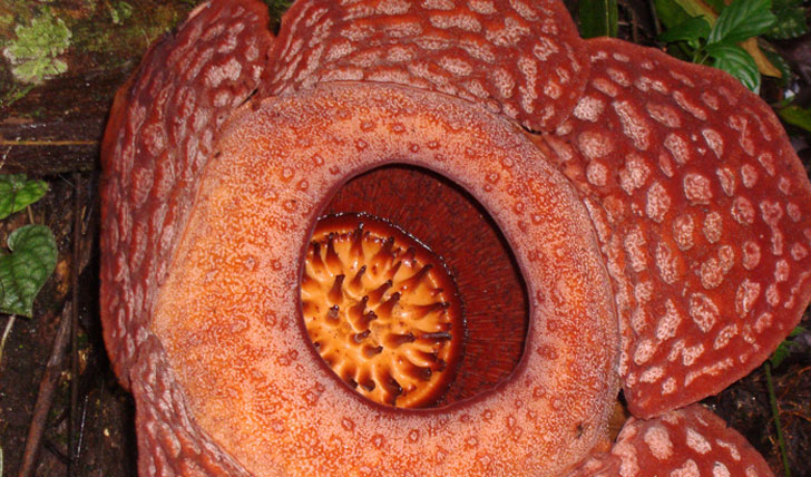 the largest flower in the world, the rafflesia, malaysia