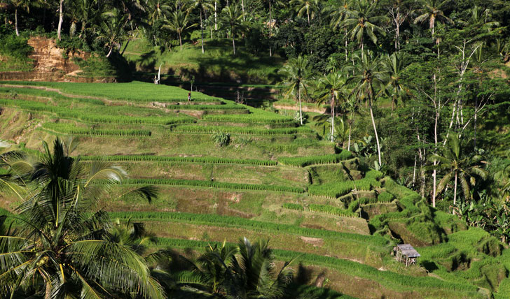 The Ubud rice terraces