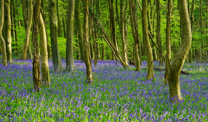 Beautiful bluebells in Standish woods, Cotswolds