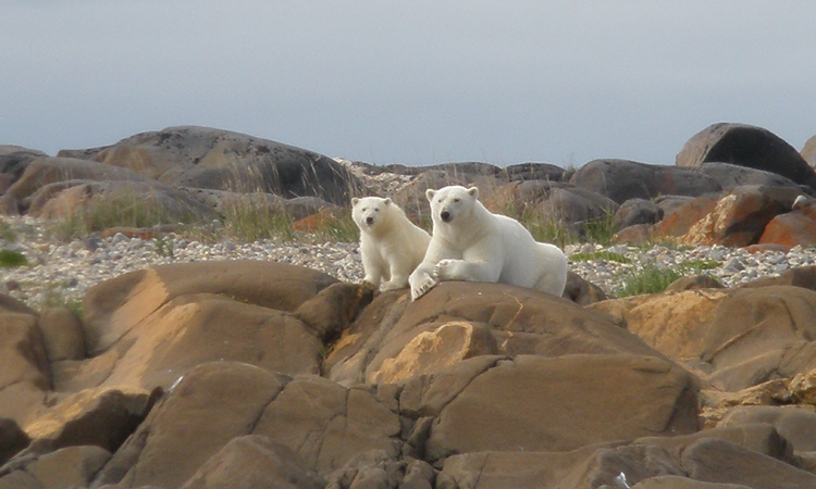 resting bears