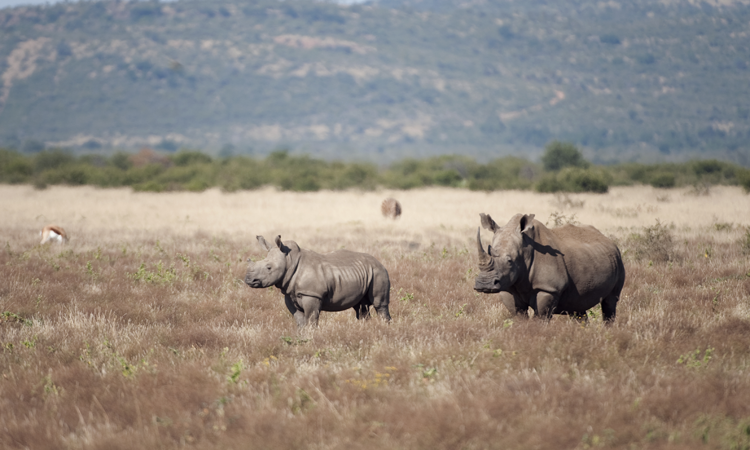 image of rhinos in the bush
