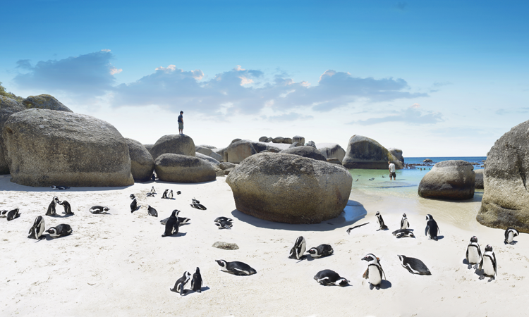the penguins on boulders beach