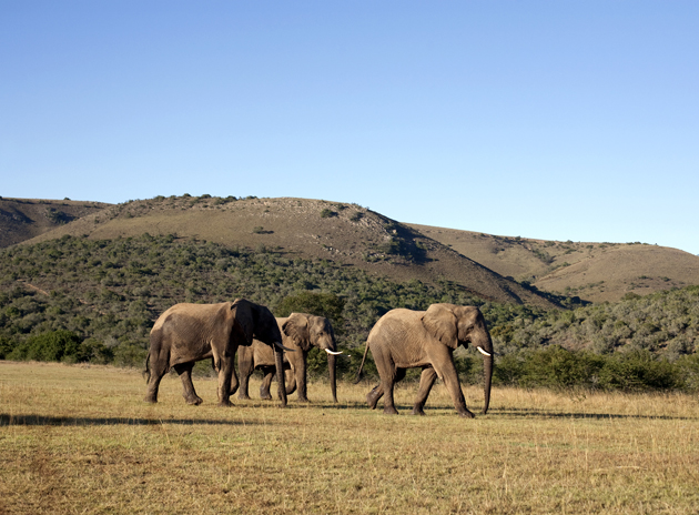 view of three elephants in south africa