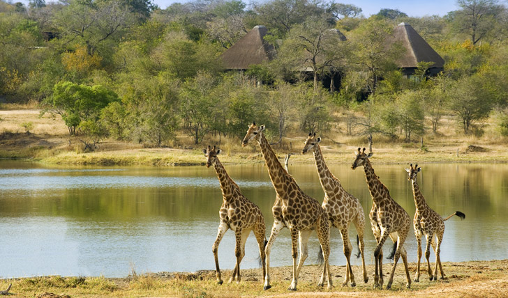 Girafes at Chitwa Chitwa
