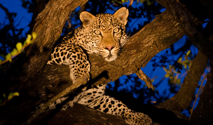 Spot leopards in the tree tops