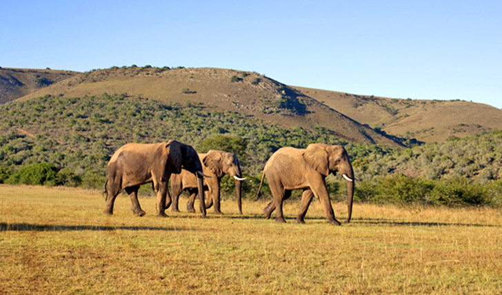 Follow African elephant herds