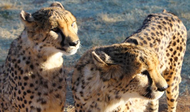 Okonjima Cheetahs