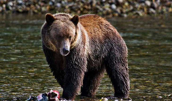 British Columbia, home to the great grizzlies