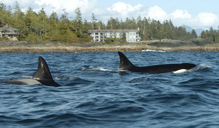 Orcas at The WickKinish Inn