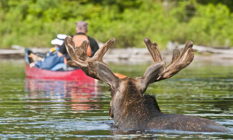 Moose spotting in Algonquin Park