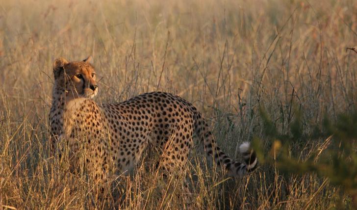 Spot cheetahs