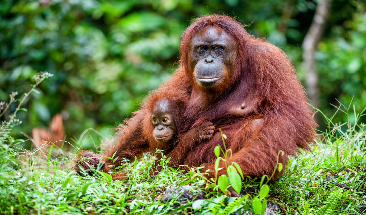 Orangutan and her baby, Borneo | Black Tomato