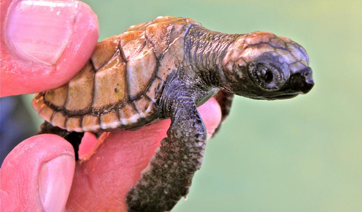 Kura Kura baby turtle