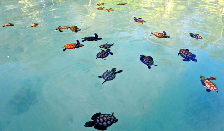 Turtles at Kura Kura