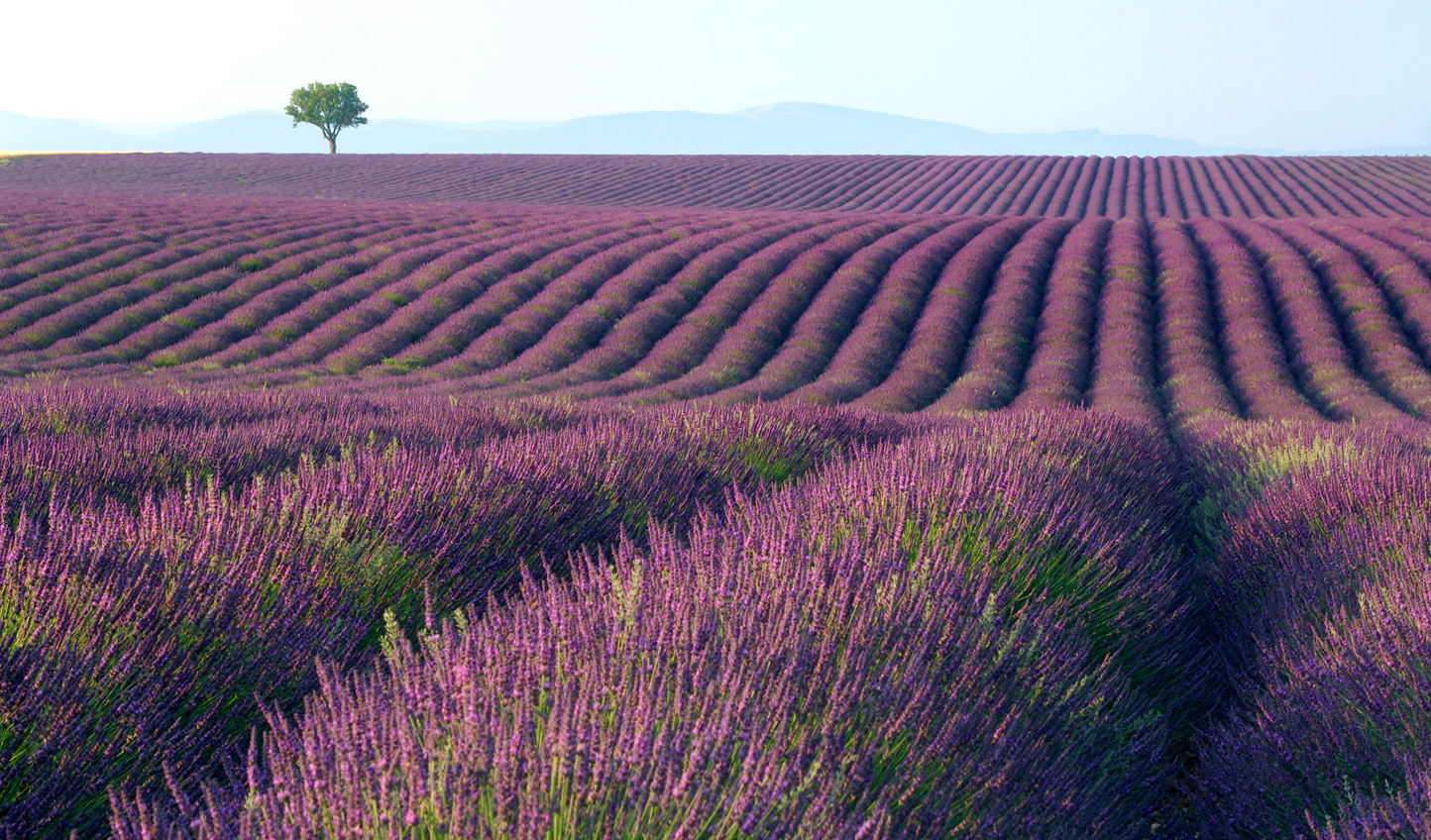 Stroll through fields of lavender