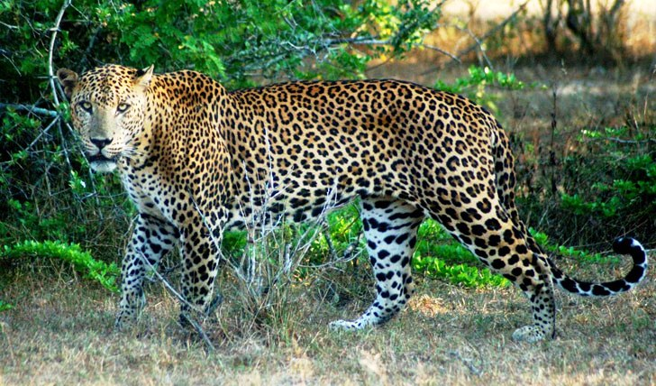 A leopard prowling through Yala National Park's wildnerness, Mahoora Safari Camp, Sri Lanka