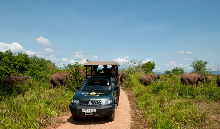 Elephants crossing the road behind your safari jeep at Mahoora Safari Camp, Sri Lanka