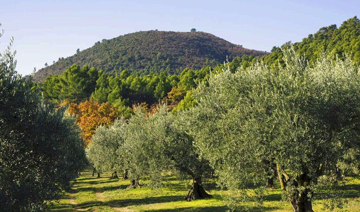 Olives and greenery in Provence