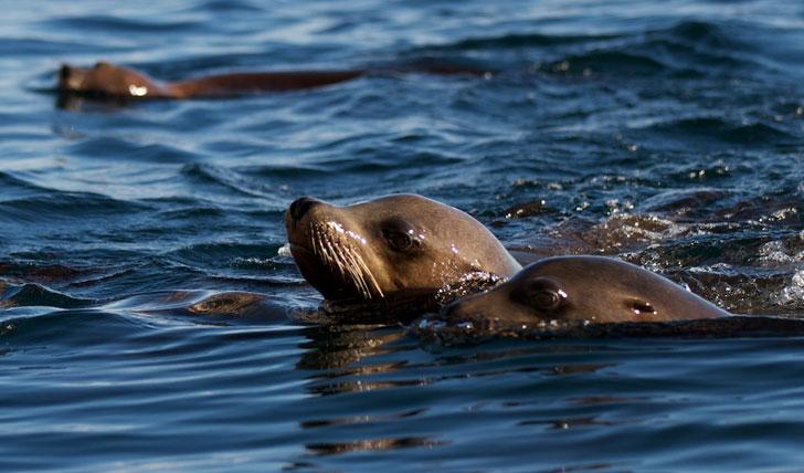 Seals, Sea of Cortez