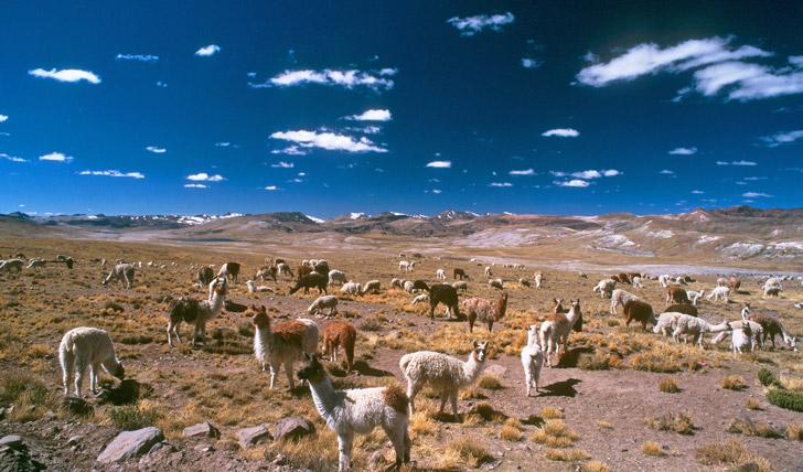 Spot alpacas in Peru