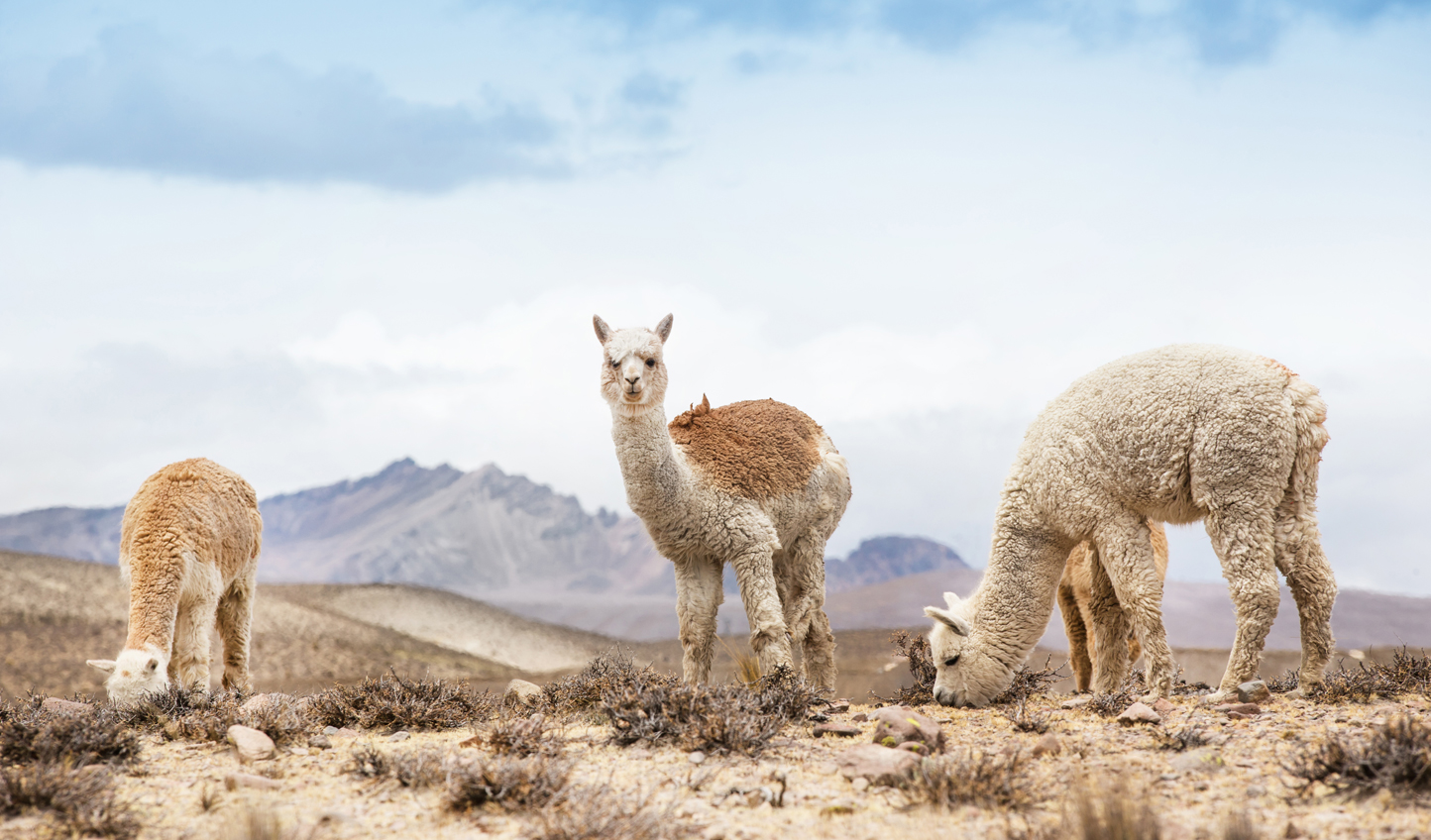 Alpacas-in-the-Peruvian-And