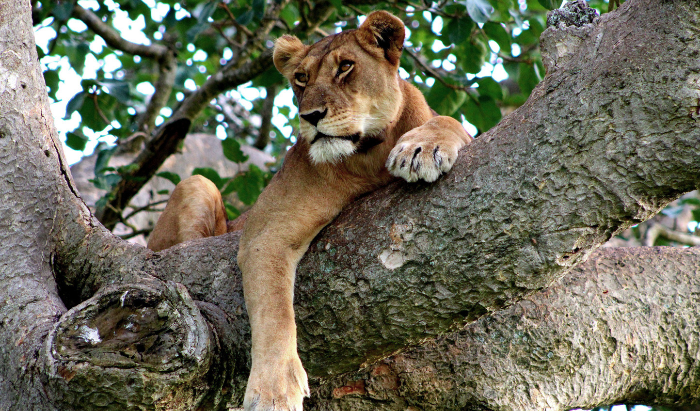 Catch sight of lions lazing in the treetops