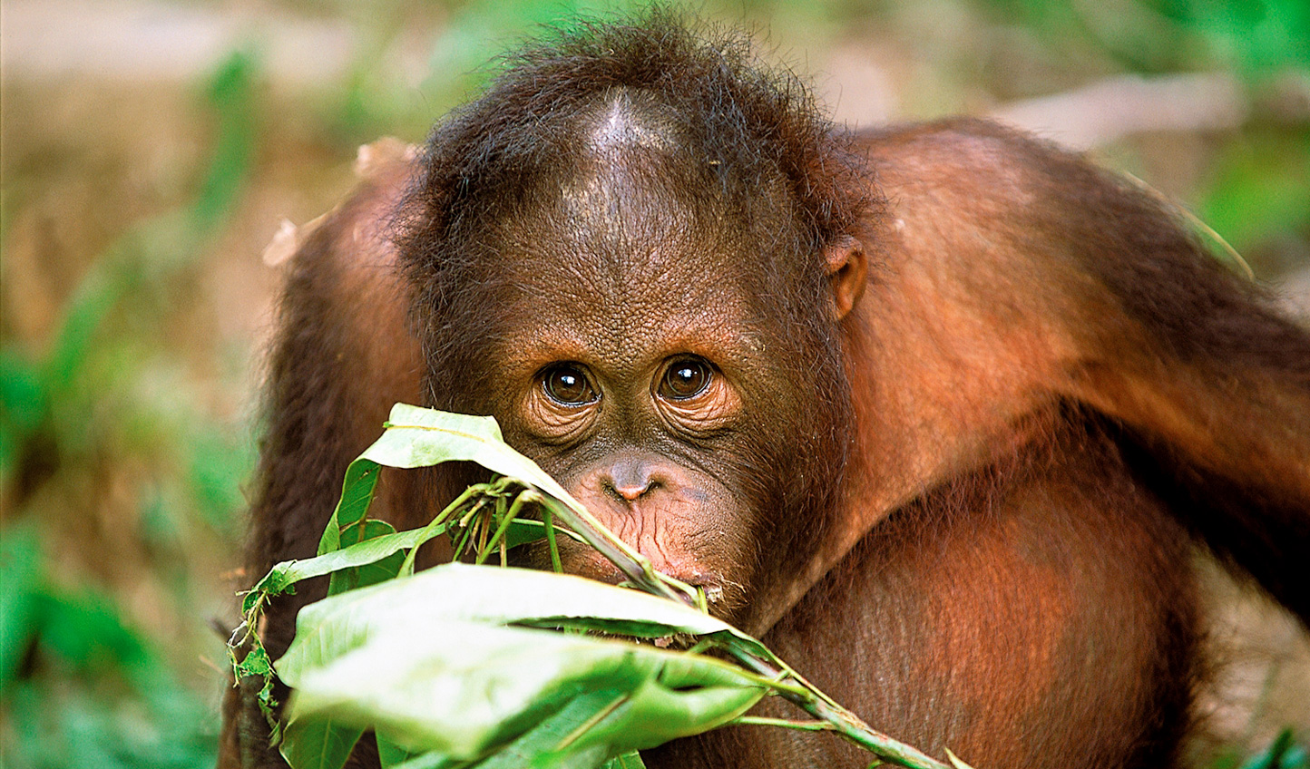 Meet man's closest relatives in Borneo