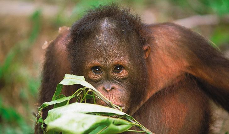 Baby Oran-Utan, Borneo