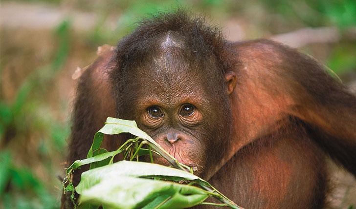 Baby Orang-utan, Sabah