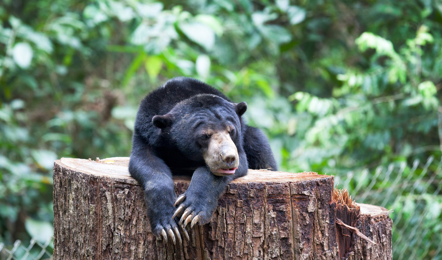 Keep your eyes peeled for sightings of Sun Bears