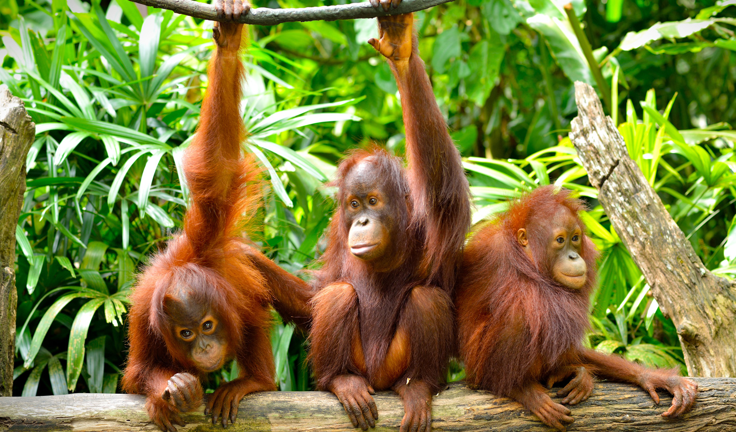 Encounter orangutans young...