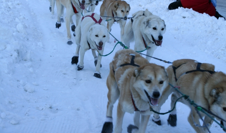 Husky dog sledding in Alaska