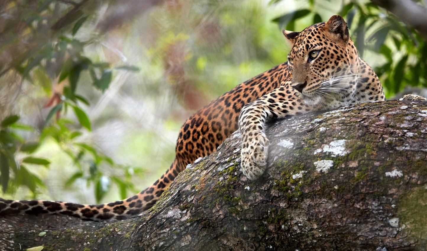 Leopard-in-Wilpattu