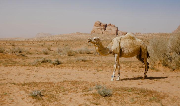 Camel | Wadi Rum | Jordan | Black Tomato | Luxury Holiday