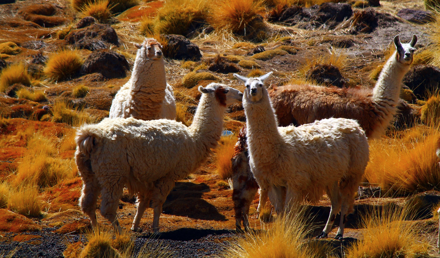 Keep a look out for any wild llamas roaming around in Atacama